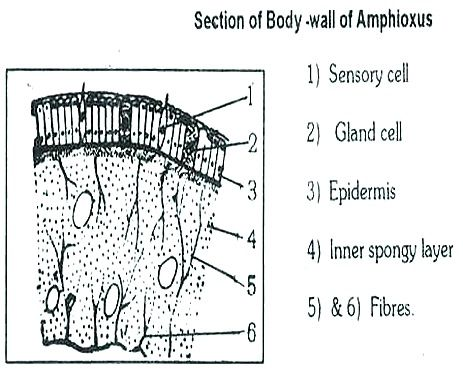 AMPHIOXUS BODY WALL thumb9