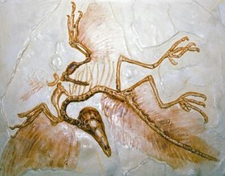 Archaeopteryx connectinglink9
