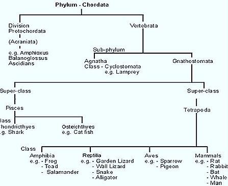 Chordata classification