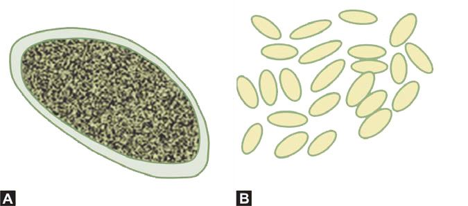 Figure 1181.8 (A) Enterobius eggs (B) Enterobius eggs collected by transparent tape method