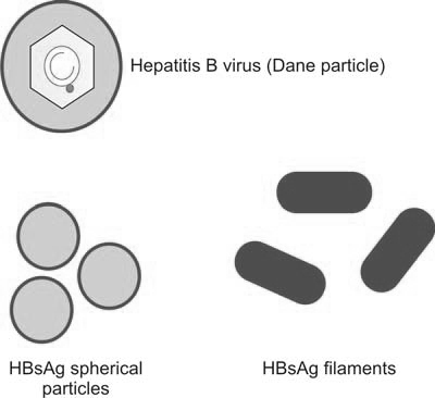 Figure 1197.1 Diagrammatic representation of hepatitis B virus