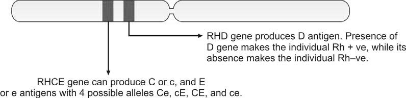 Figure 1200.4 According to current genetic studies, there are two genes on short arm of chromosome 1 RHCE and RHD