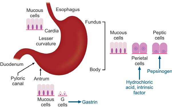 Figure 859.1 Parts of stomach and their lining cells