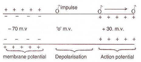 action potential7