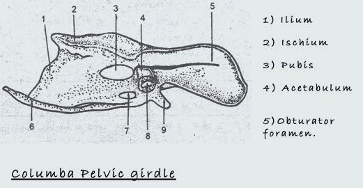 bird pelvic girdle18