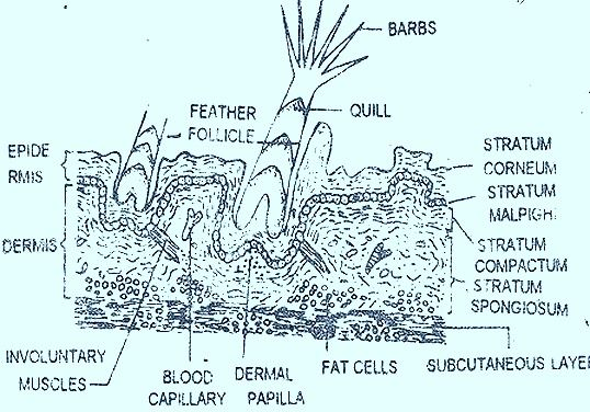 Bird Skin - Cross Section