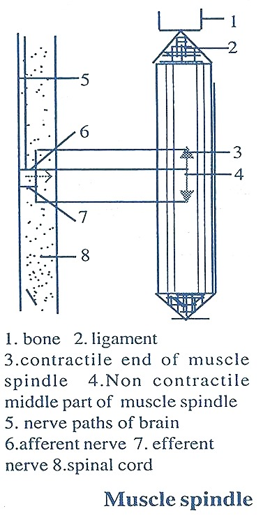 muscle spindle3