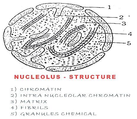 structure and function of nucleolus Contained within the nucleus is a dense, membrane-less structure composed of rna and proteins called the nucleolus the nucleolus contains nucleolar organizers, which are parts of chromosomes with the genes for ribosome synthesis on them.