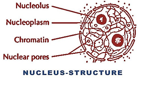 nucleus cell structure function9