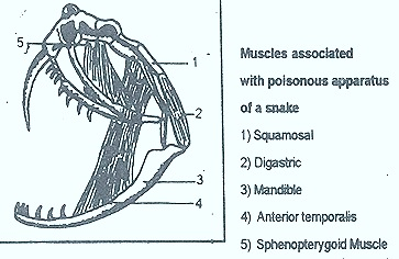snake poisonous appartus muscles thumb26