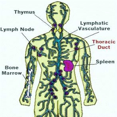thoracic duct7