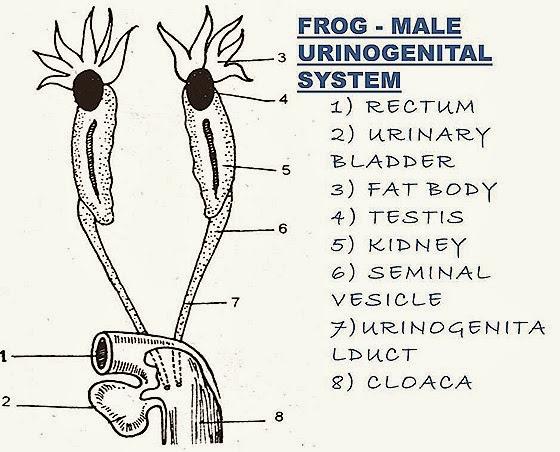 comparision  frog reproductive system   fish reproductive