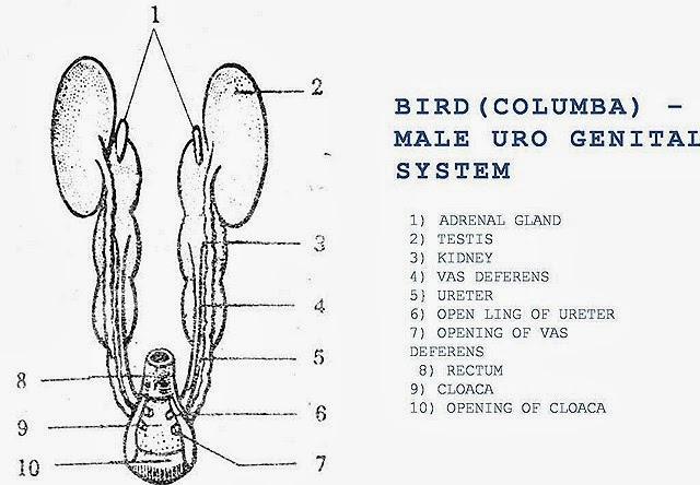 comparision  male reproductive system of bird  rabbit and