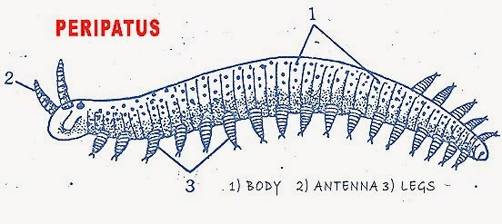 ONYCHOPHORA (PERIPATUS): STRUCTURE AND AFFINITIES