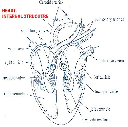 Rabbit heart anatomy
