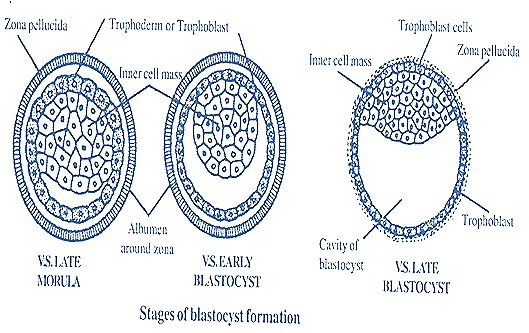 EMBRYO DEVELOPMENT OF RABBIT