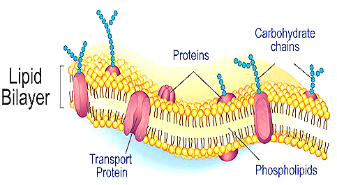Structure And Functions Of Cell Membrane Plasma Membrane
