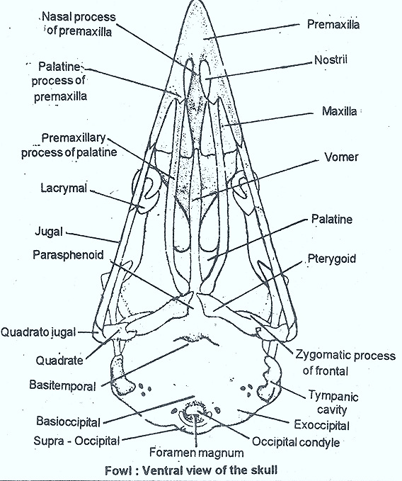 Labelled Diagram Of Rabbit Skull Free Wiring Diagram For You