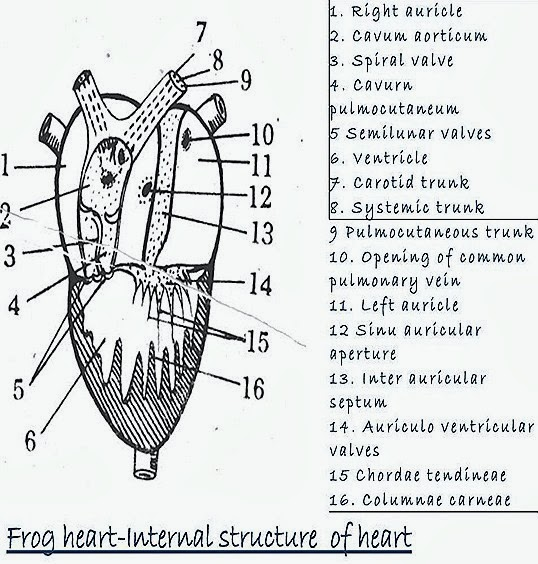 comparative anatomy  heart structure of frog and fish