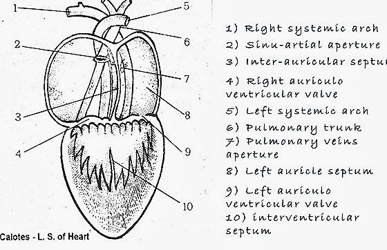 comparative anatomy  heart structure of reptile  bird and