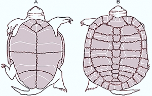 CARAPACE AND PLASTRON