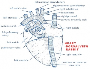 Rabbit's Heart: Dorsal View