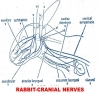 RABBIT (MAMMALS) CRANIAL NERVES AND THEIR NAMES ORIGIN, NATURE, AND DISTRIBUTION