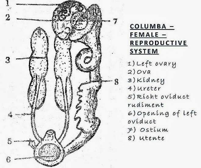 Bird (Columba) - Female Reproductive System