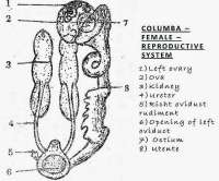 COMPARISION: Female Reproductive System of Bird, Rabbit and Reptile