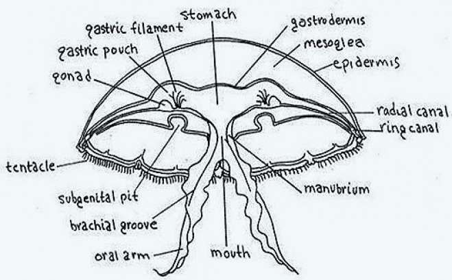 Structure Of Jelly Fish Or Aurelia