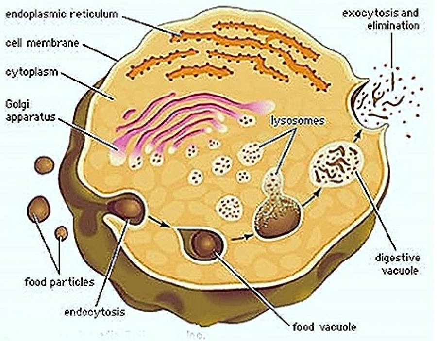 STRUCTURE AND FUNCTIONS OF LYSOSOMES