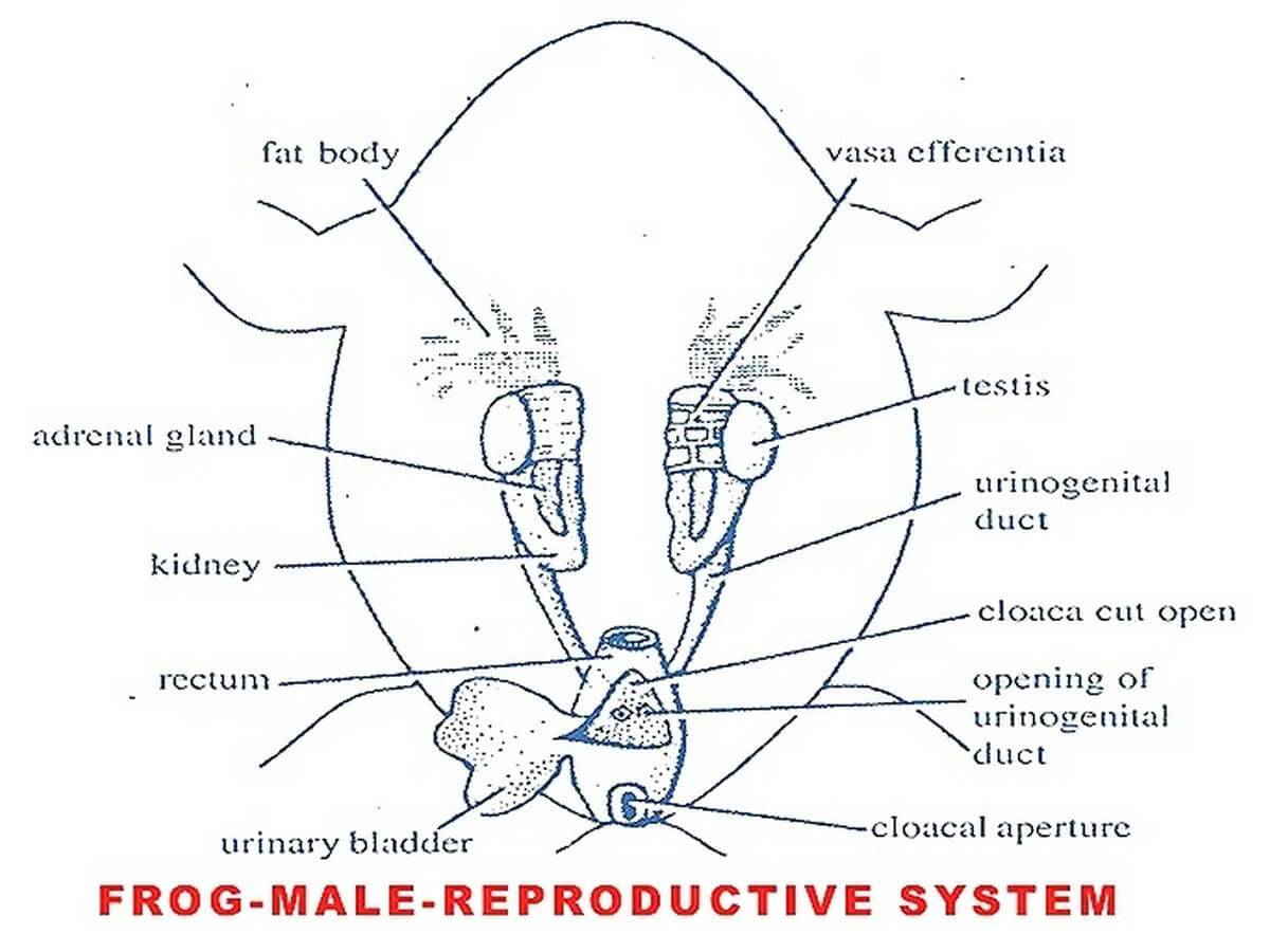 MALE FROG: REPRODUCTIVE SYSTEM