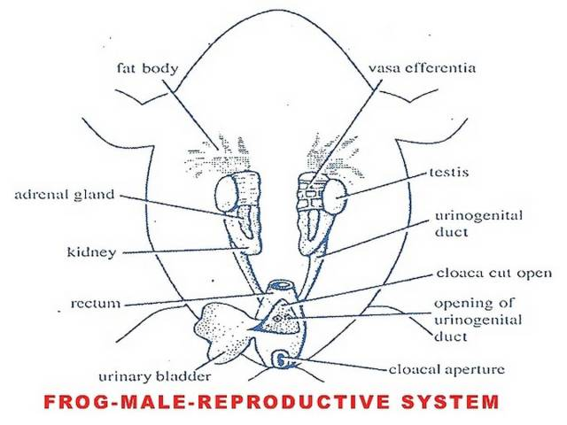Frog Mouth Diagram