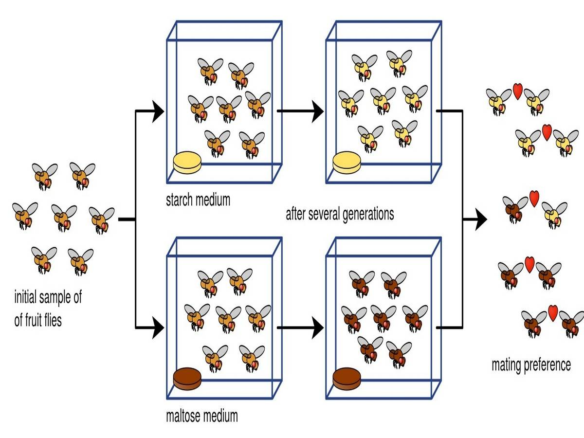 Experimental setup to show the effect of nutrition on mate preference and natural selection