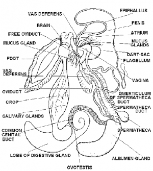 REPRODUCTIVE SYSTEM IN PILA (SNAIL)