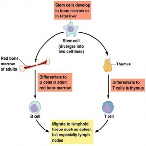 LYMPHOCYTES: B-Cells and T-Cells