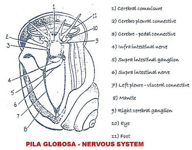 Nervous system of pila snail ccuart Image collections