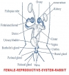 REPRODUCTIVE SYSTEM OF FEMALE RABBIT