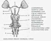 COMPARATIVE ANATOMY: FISH BRAIN AND FROG BRAIN