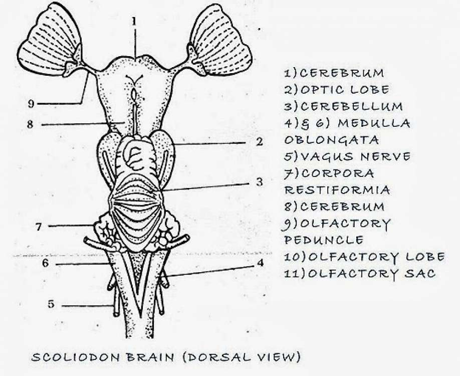 comparative anatomy  fish brain and frog brain