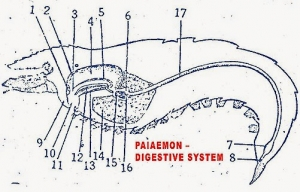 DIGESTIVE SYSTEM OF PALAEMON (PRAWN): 1) CIRCULAR PLATE 2) LANCEOLATE PLATE 3) OESOPHAGUS 4) CARDIAC STOMACH 5) GUIDING RIDGE 6) PYLORIC STOMACH 7) HINDGUT 8) ANUS 9) UPPER LIP 10) MOUTH 11) LOWER LIP 12) COMB PLATE 13) HASTATE PLATE 14) HEPATO PANCREAS 15) FILTERING APPARATUS 16) HEPATO PANCREATIC OPENING 17) MIDGUT