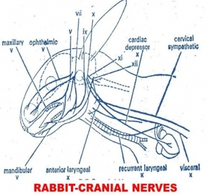 CRANIAL NERVES IN RABBIT