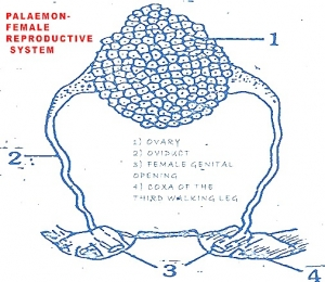 PALAEMON (PRAWN) REPRODUCTIVE SYSTEM