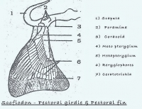 COMPARATIVE ANATOMY: PECTORAL GIRDLE OF FISH AND FROG