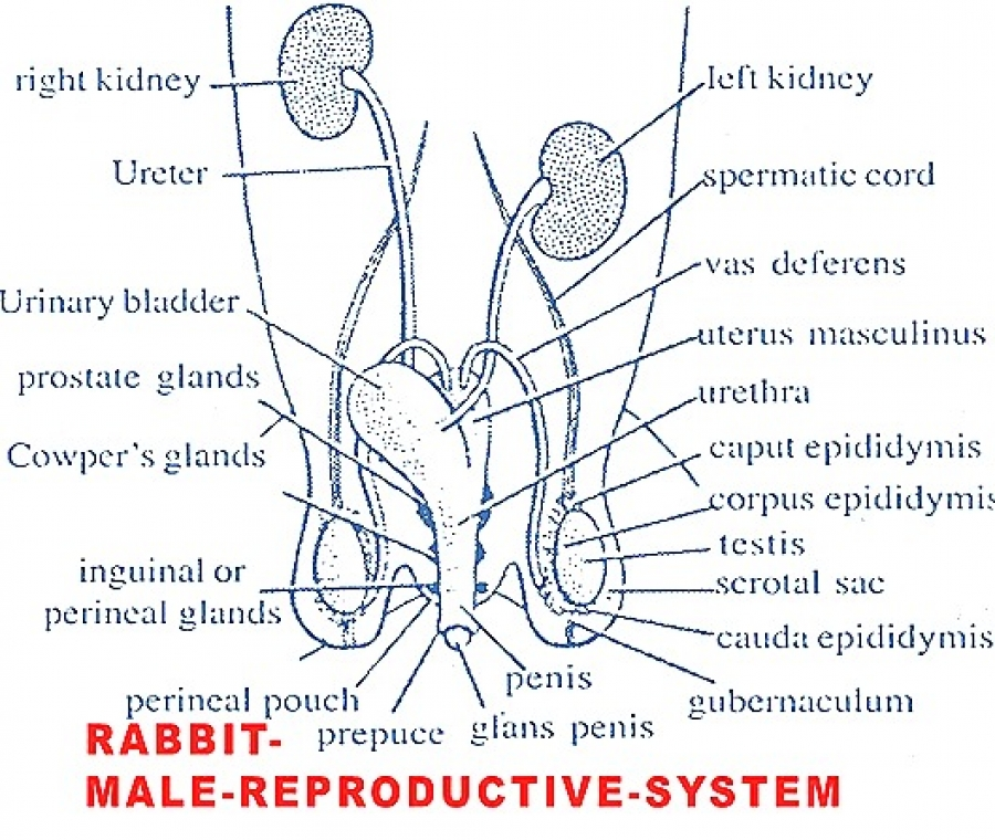 Reproductive System Of Male Rabbit