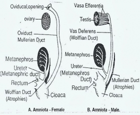 COMPARATIVE ANATOMY: EXCRETORY SYSTEM OF REPTILE, BIRD AND MAMMAL