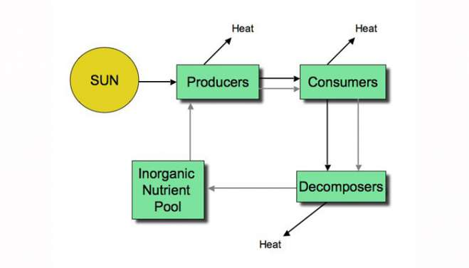 Energy and nutrient transfer through ecosystems