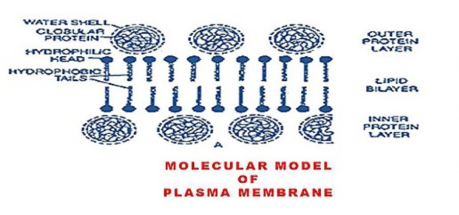 STRUCTURE AND FUNCTIONS OF CELL MEMBRANE (PLASMA MEMBRANE)
