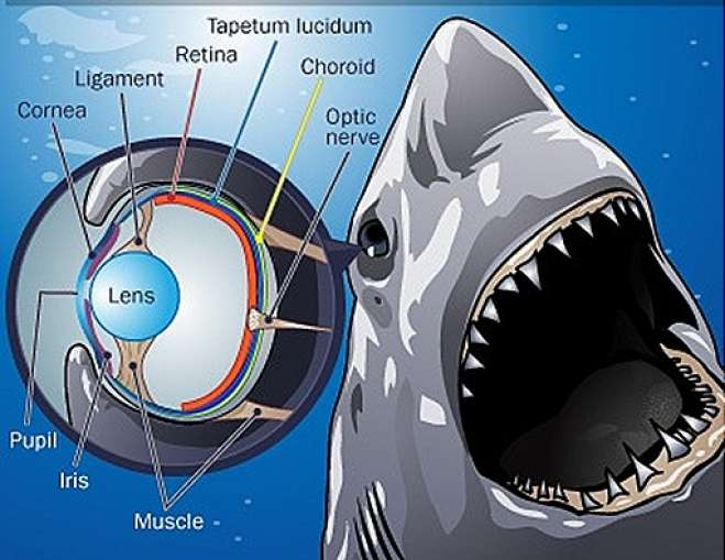 STRUCTURE OF SHARK EYES