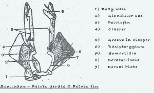 PELVIC GIRDLE OF FISH